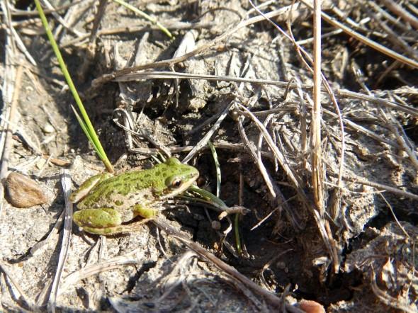 dolderer_frog