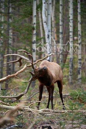 Elk-4202-.jpg