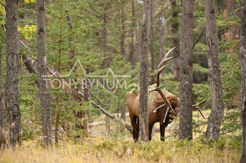 Elk-5933-.jpg