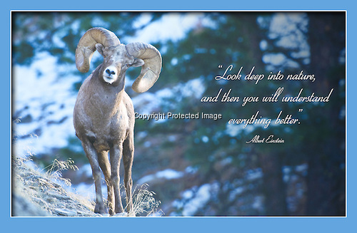 Bighorn ram with quote. © tony bynum