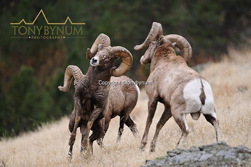 Two rocky mountain, bighorn sheep, males, rams fighting for dominance. © tony bynum