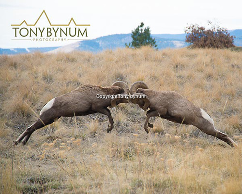 Rocky mountain bighorn rams fighting, head butting. © tony bynum
