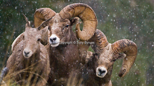 Rocky Mountain bighorn rams following a ewe in falling snow. ©tony bynum