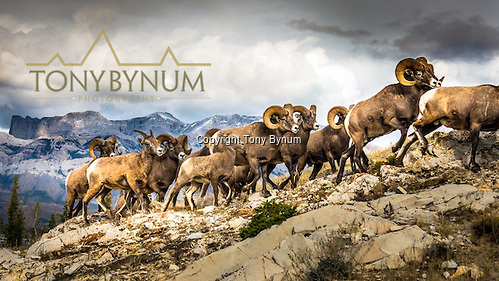 A small band of bighorn sheep, females - ewe's - and males - rams - walking on a ridge top with large mountains in the background. © tony bynum