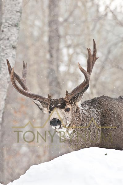 Mule deer buck photo - mule deer buck in snow in aspen forest. © tony bynum