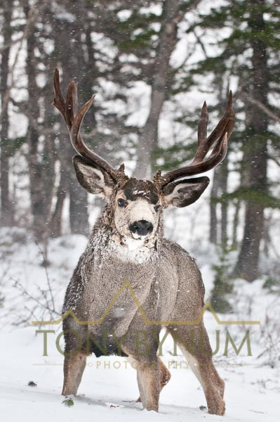 Mule deer buck photo - mule deer buck standing in snow. © tony bynum