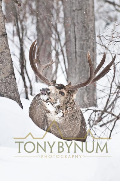 Mule deer buck photo - mule deer buck lip curling in deep snow among cottonwood and aspen trees. © tony bynum