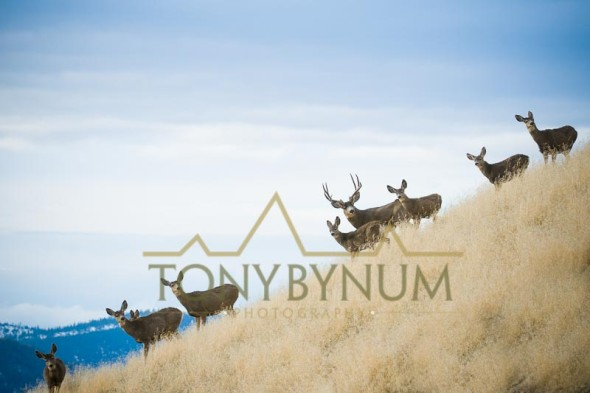 Mule deer photo - a small herd of mule deer, a buck, several does and fawns on a grass covered ridge. © tony bynum