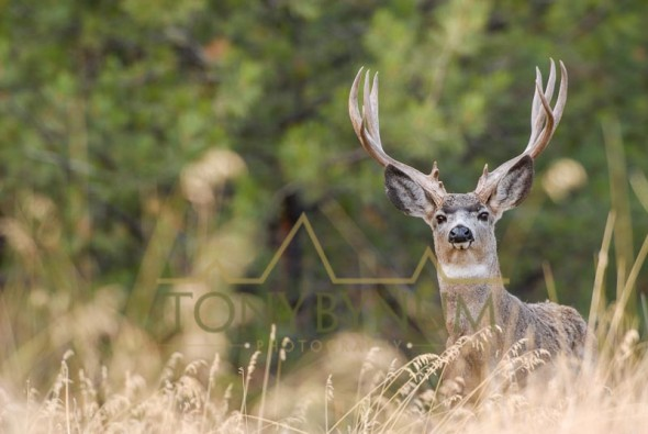Mule deer buck photo - a mature mule deer buck standing in grass with forest background. © tony bynum