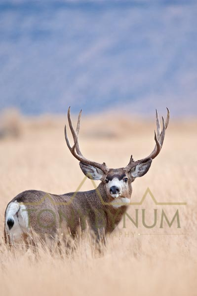 Mule deer buck photo - large mule deer buck standing in grass. © tony bynum