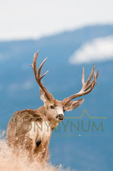 Mule deer buck photo - mule deer buck standing on a ridge, looking back over his shoulder. © tony bynum