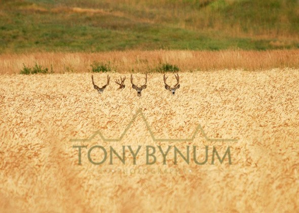 Mule deer buck photo - group of mule deer bucks with velvet antlers standing in wheat field. © tony bynum