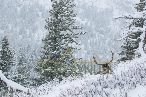 Mule deer buck photo - large mule deer buck bedded in snow among fir trees. © tony bynum