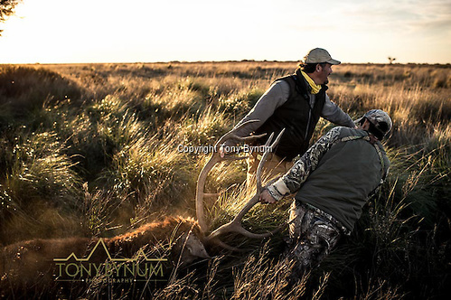 Two men dragging a free range stag, La Pampa, Argentina ©tonybynum.com