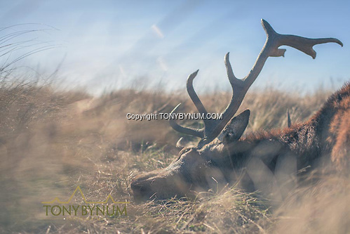 A red stag. La Pampa, Argentina ©tonybynum.com
