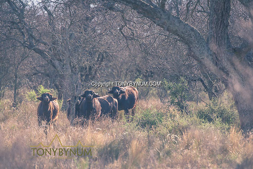 Asiatic water buffalo. One of many exotic species found in the region. La Pampa, Argentina ©tonybynum.com