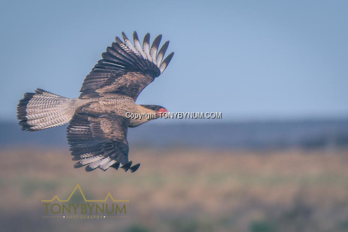 Bird in flight. La Pampa, Argentina ©tonybynum.com