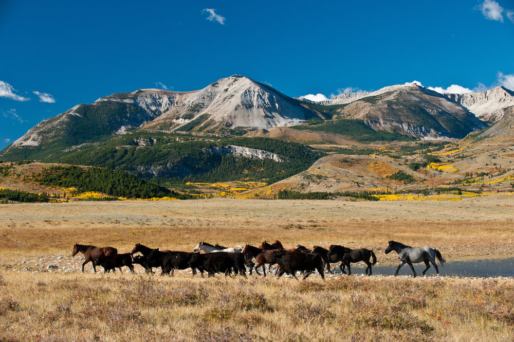 Horses on the Blackfeet Reservation in Montana.