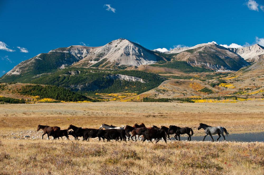 Horses on the Blackfeet Reservation in Montana.