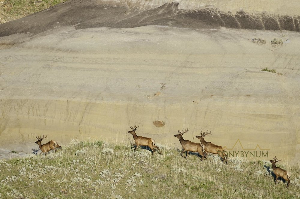A group of young male bull elk in the Missouri River Breaks Monument. © Tony Bynum