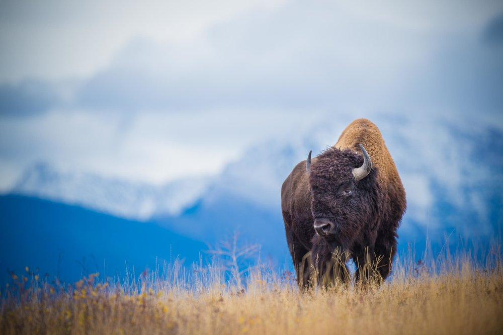 American Bison, Mission Mountains, Montana. © tony bynum