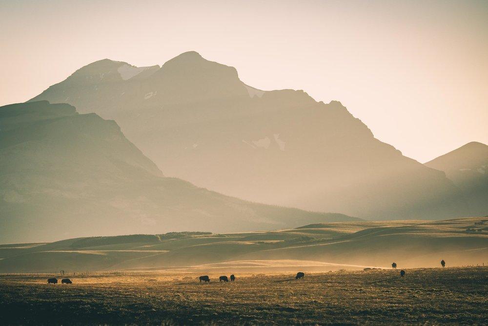 American Bison, Glacier National Park, Montana. © tony bynum