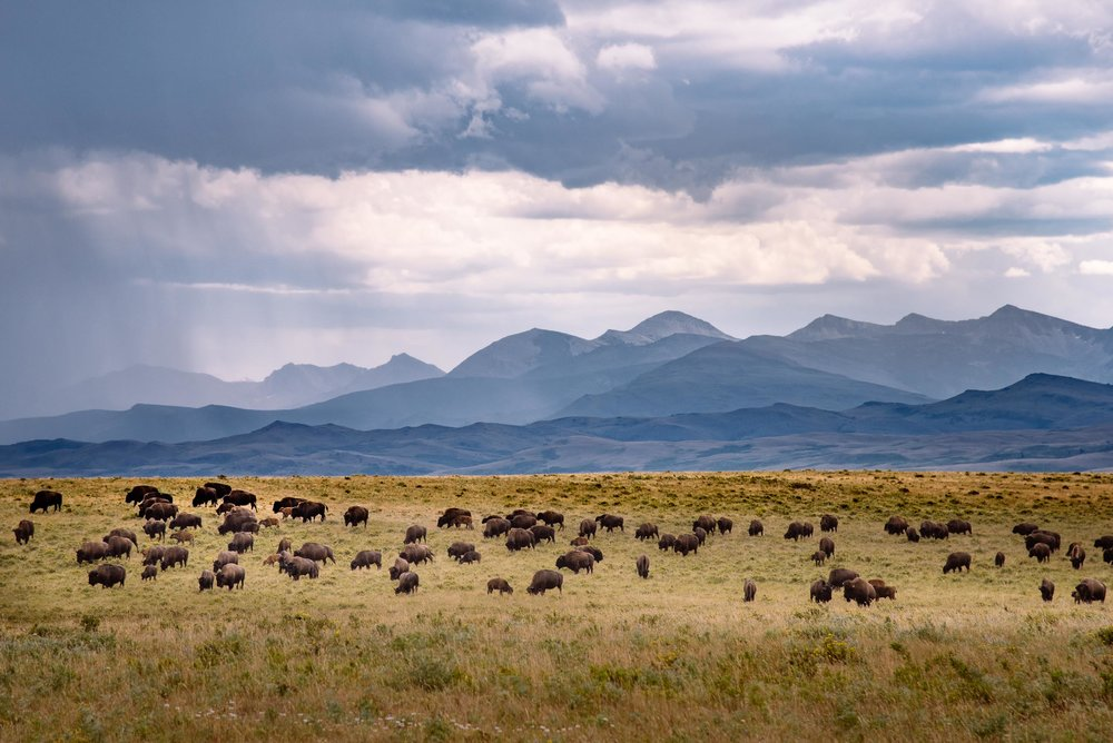 "American Bison on the prairie, rocky mountain front ""Badger-Two Medicine,"" Montana. ©tony bynum"