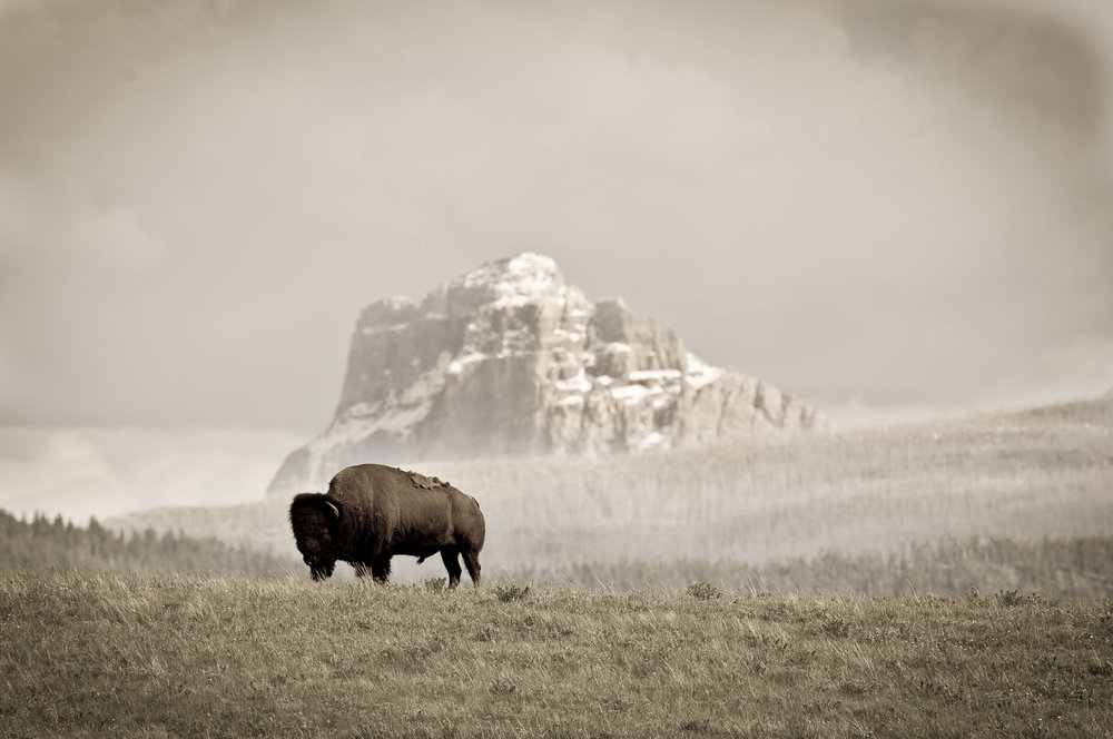 American Bison and Chief Mountain. ©tony bynum