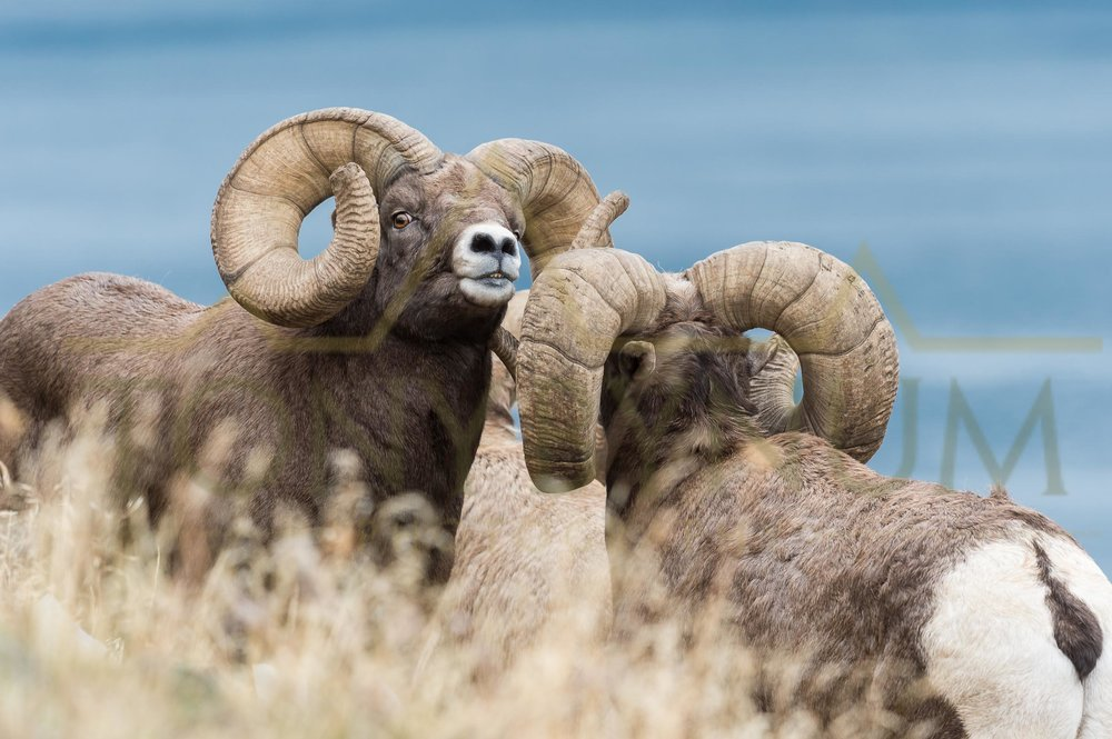A photograph looking at the back side of the world record bighorn ram from Montana. The ram facing in this image is also a world class bighorn. ©tonybynum.com
