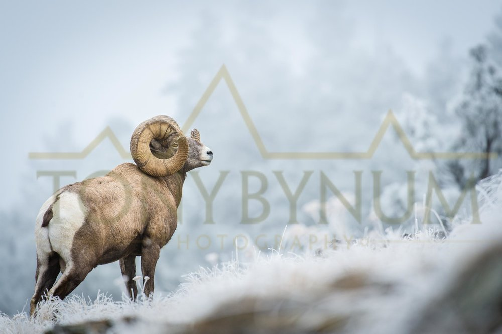 World record bighorn sheep. ©tonybynum.com