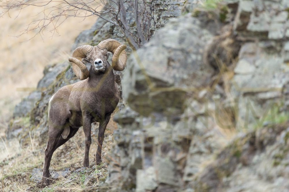 The new world record bighorn ram standing proud behind a rock ledge. ©tonybynum.com