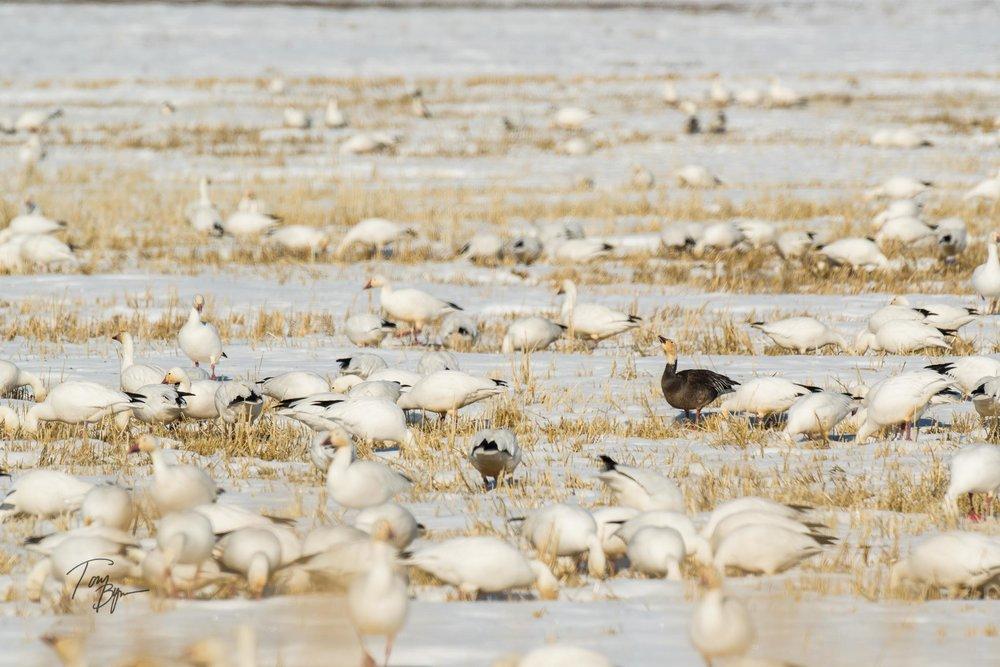 snow-geese-bynum-2228.JPG