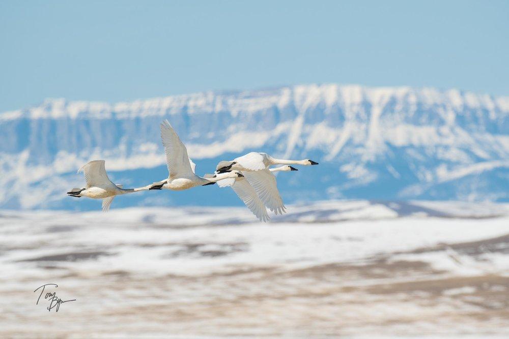 snow-geese-bynum-3901.JPG