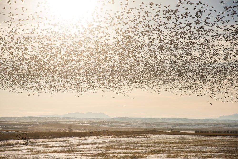 snow-geese-bynum-8729.JPG