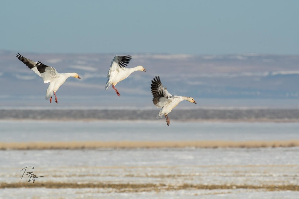 Three white snow geese landing in a farm field, in what looks like an orchestrated ballet. ©Tony Bynum