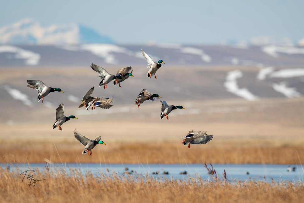 "A ""courtship"" group of Mallard ducks lands in a prairie pond along the Rocky Mountain Front in Montana. © Tony Bynum"