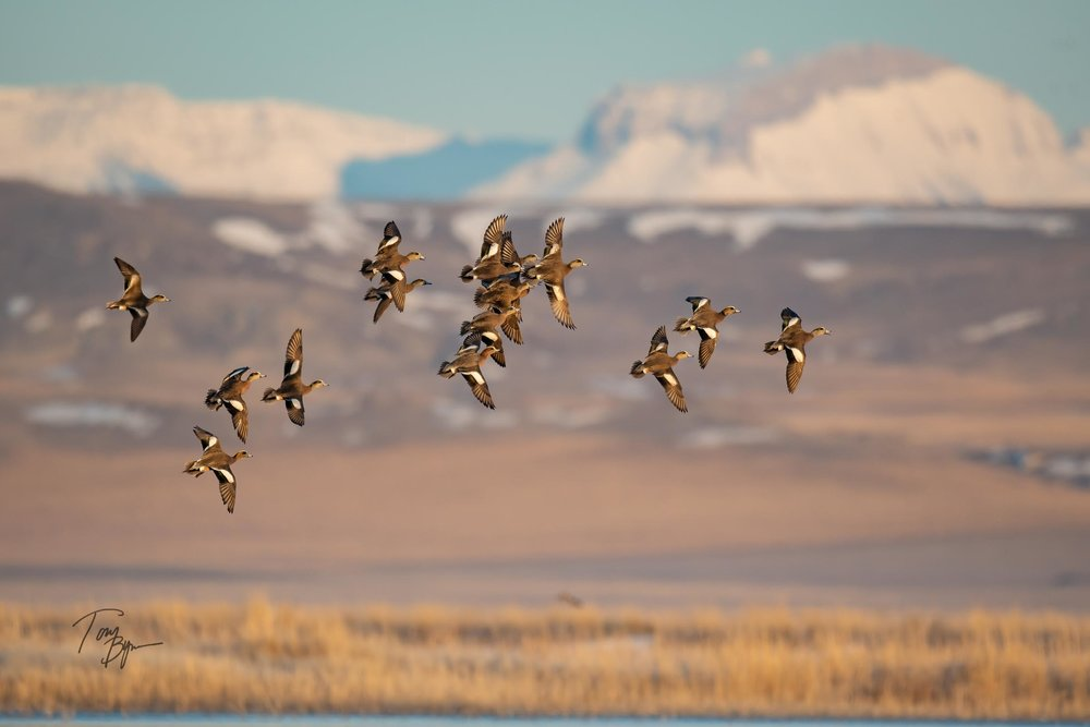 A group of wigeon ducks display their colors and their flight above a prairie pond along the Rocky Mountain Front, Montana. The lower in the center mass looks to be a Eurasian wigeon. © Tony Bynum