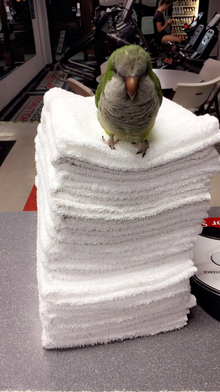 Does your gym have a cool parrot as their mascot? Meet Buddy! My gyms living and breathing mascot.