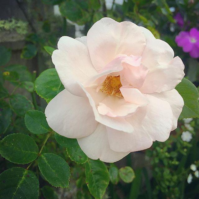 Sconset Roses 💛