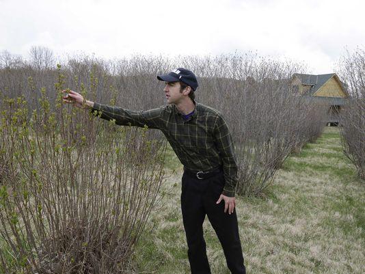 Andrew Pittz examines an aronia berry bush at Sawmill Hollow Family Farm. (Photo: Nati Harnik, AP)