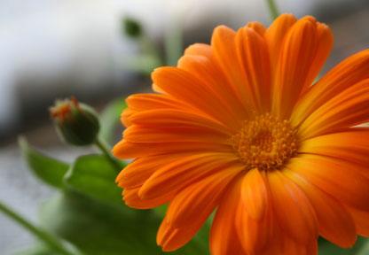 calendula-flower-2.jpg