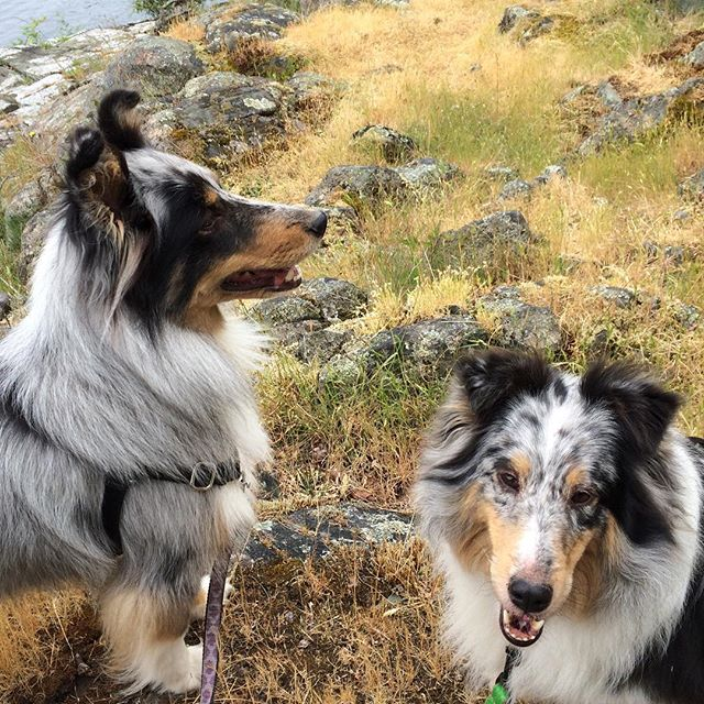 Love #california dearly and seeing my nearest and dearest, but I do miss my #furbabies! #sheltie #dogstagram #shelties #sheltielove