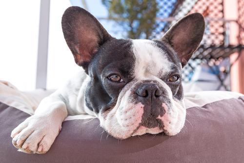 bulldog frances.jpg