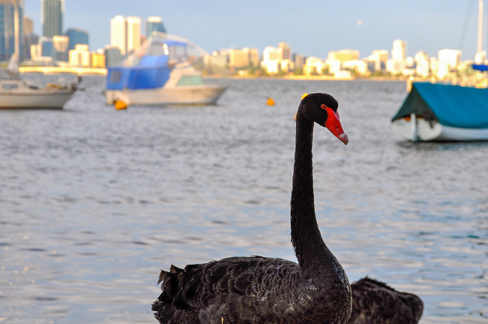 Maybe you will catch a glimpse of Perth's famous black swans while at Matilda Bay. Photo credit: Angela.