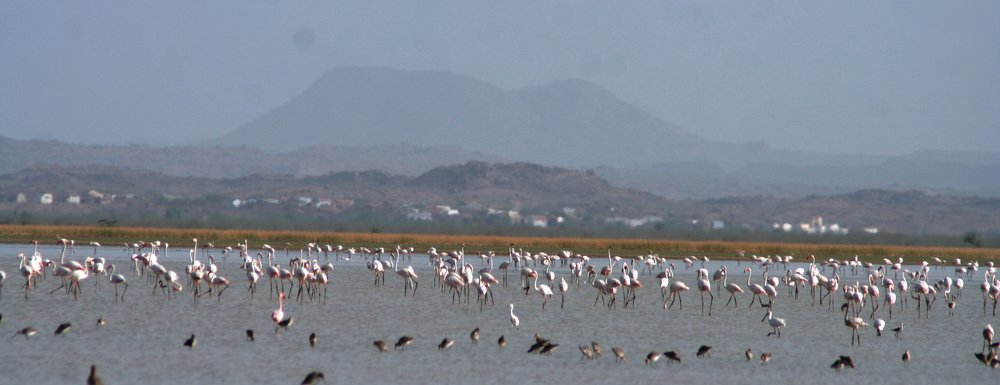 Flamingoes at Chhari Dhand. Photo credit: Jugal Tiwari