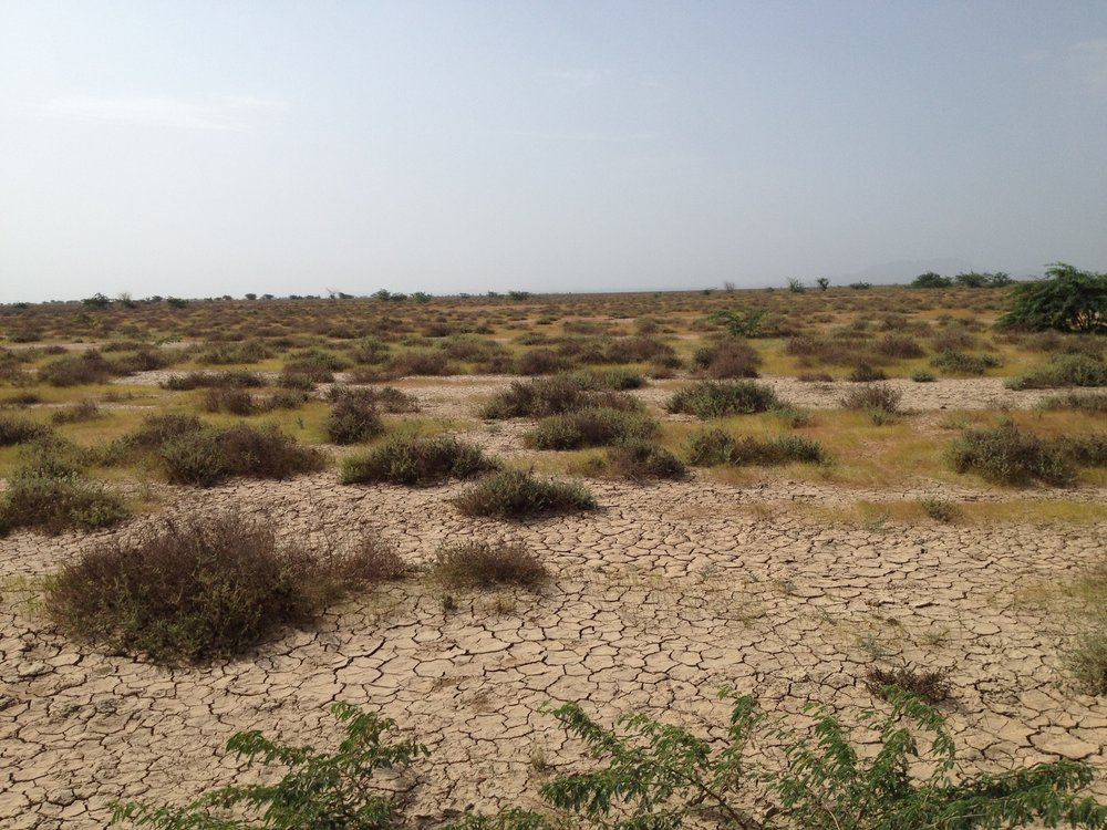 Sprigs of life on parched earth - in the Banni