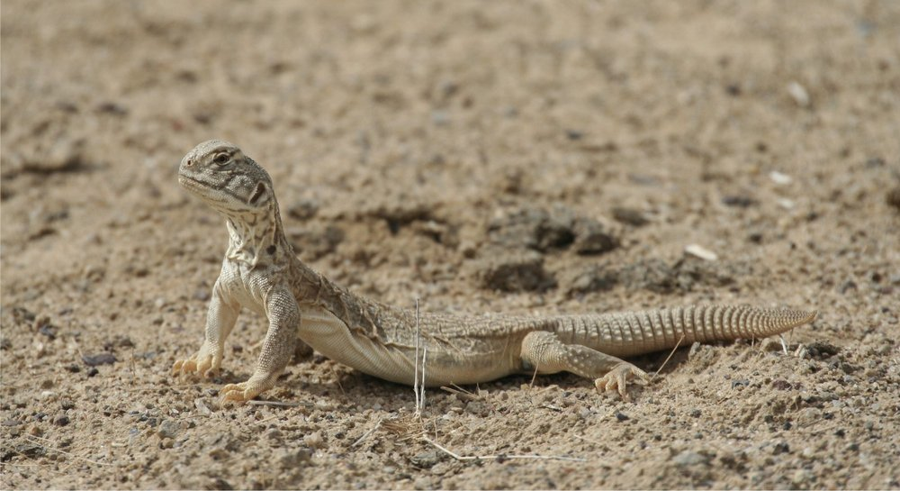 Spiny-tailed Lizard. Photo credit: Jugal Tiwari