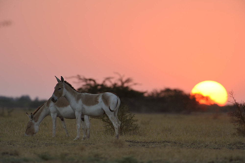 Indian Wild Ass in the Little Rann. Photo Credit: Robin Hamilton