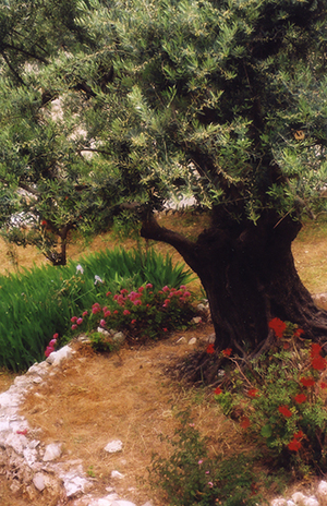 Photo of The Garden of Gethsemane