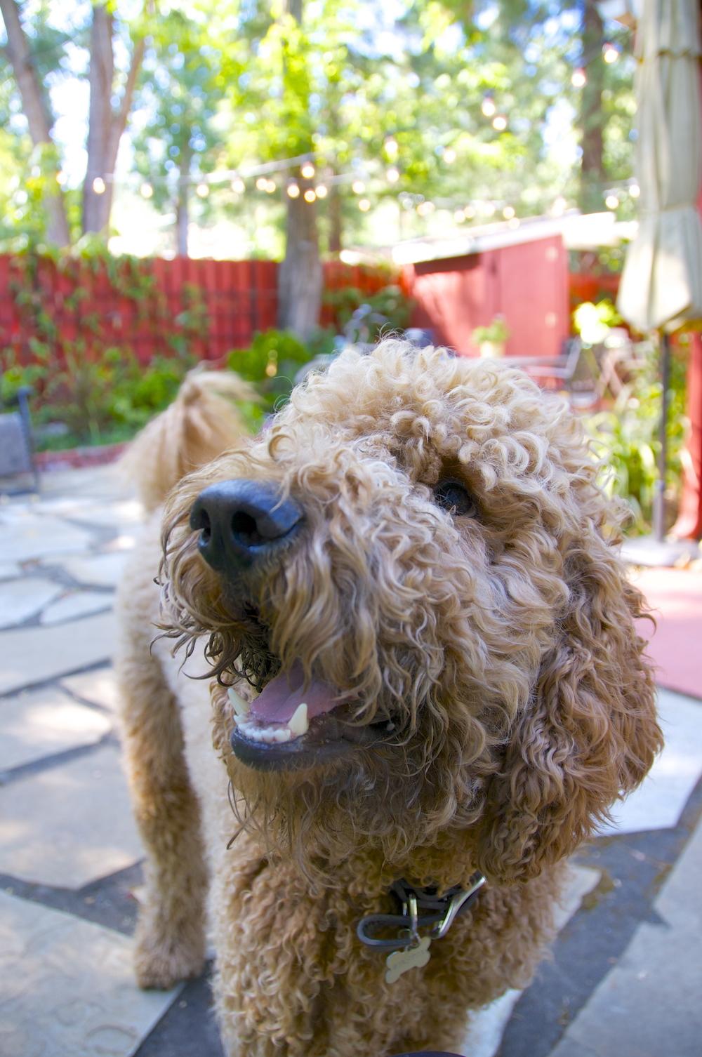 Winnie my grandog has focus!